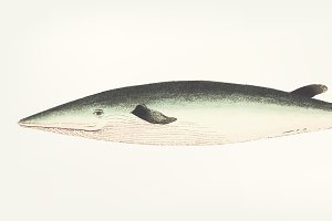 Hand drawn of Rostrated whale