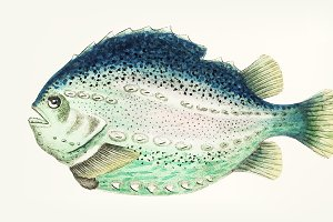 Drawing - Silvery sea-green lumpfish