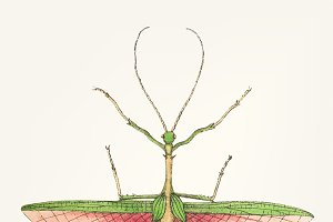 Hand drawn of two-spined mantis