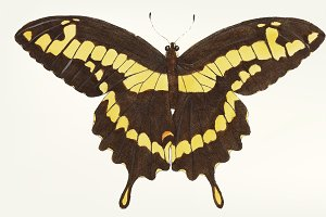 Hand drawn of brownish-black papilio