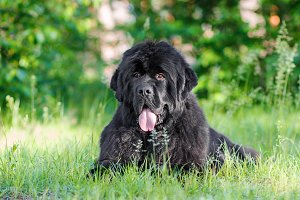 Black Newfoundland Portrait