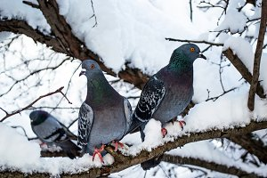 pigeons in winter on a tree branch