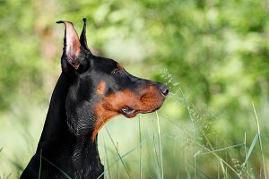 Black Doberman Portrait