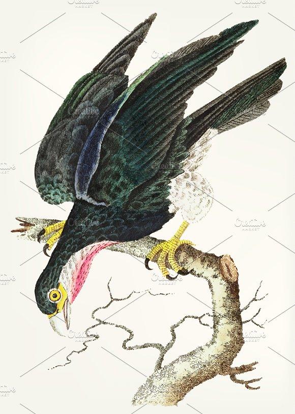 Hand Drawn Purple Throated Falcon