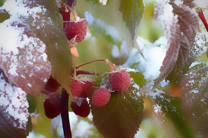 raspberries in the snow