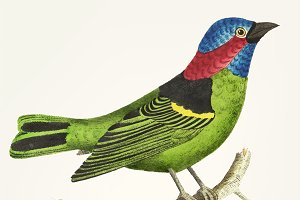Hand drawn of green tanager