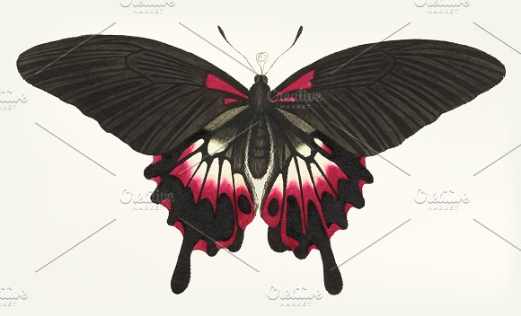 Drawing Of Caudate Brown Butterfly