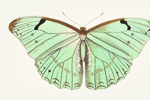 Hand drawn of laertes butterfly