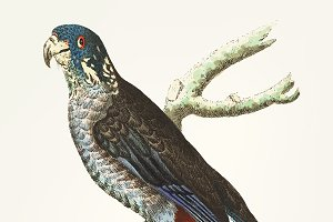 Illustration of blackish parrot