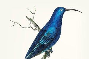 Illustration of blue promerops