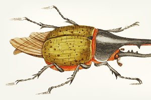 Illustration of hercules beetle