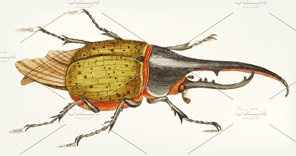 Illustration Of Hercules Beetle