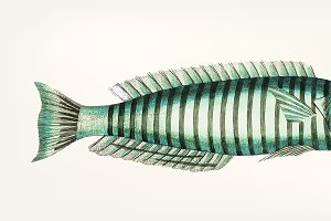Illustration of Ring wrasse