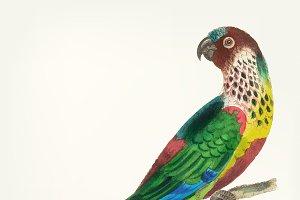 Illustration of parakeet