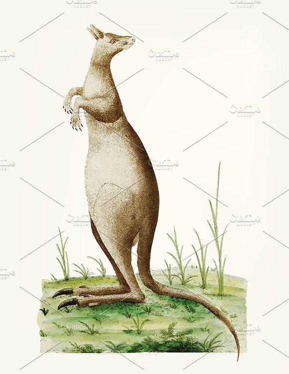 Illustration Of Great Kangaroo