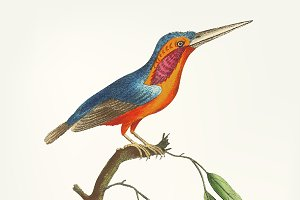 Illustration of crested kingfisher