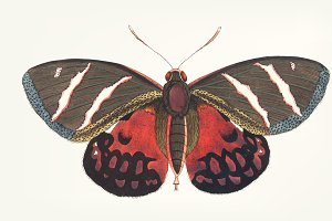 Hand drawn of papilio icarus