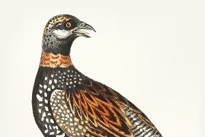 Hand drawn of francolin partridge