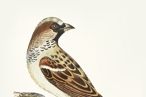Illustration of sparrow