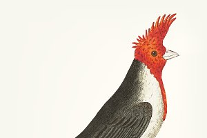 Illustration of crested cardinal