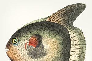 Hand drawn of Short Sun-fish