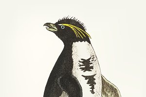Illustration of crested penguin