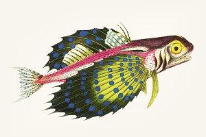 Illustration of Flying gurnard