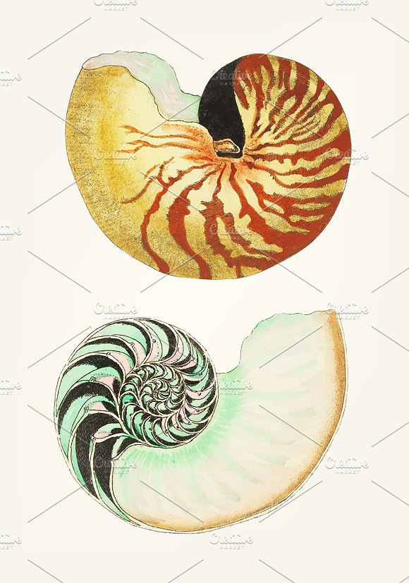 Illustration Of Great Nautilus