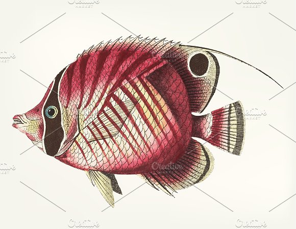 Illustration Of Chaetodon
