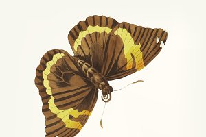 Hand drawn of cassia butterfly