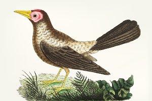 Illustration of grackle