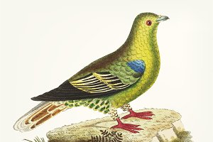 Illustration of green pigeon