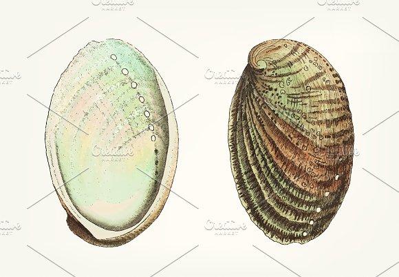 Illustration Of Abalone Shell