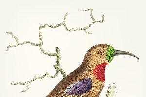Drawing of purple-throated creeper
