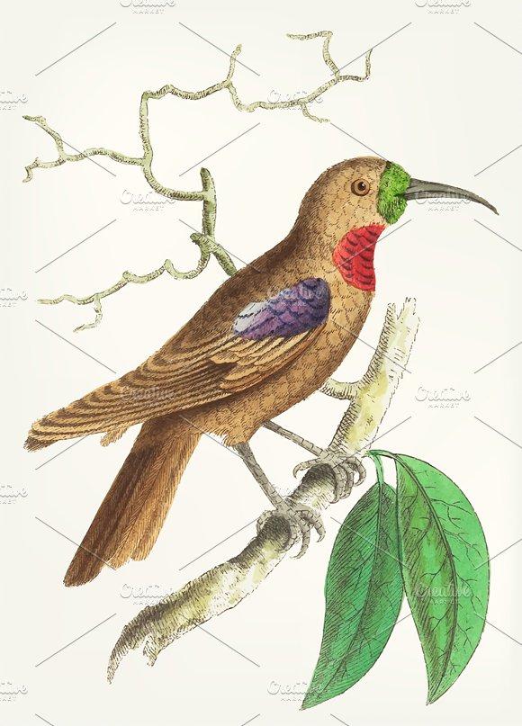 Drawing Of Purple-throated Creeper