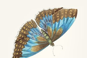 Illustration of morpho telemachus