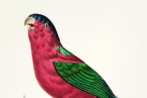 Illustration of crimson parakeet