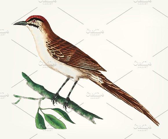 Illustration Of Warbler