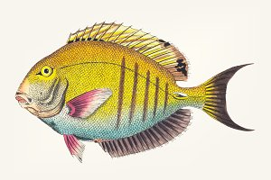 Drawing of Lancet-tailed Acanthurus