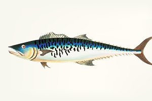 Illustration of Mottled Mackerel