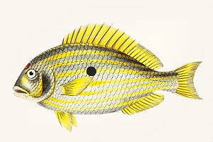 Illustration of Sciaena