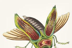 Illustration of goggle eyed beetle