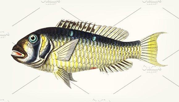 Illustration Of Gilt-head Bream