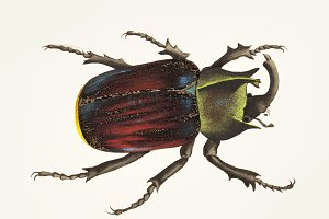 Drawing of black scutellated beetle