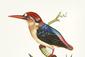 Illustration of bengal kingfisher