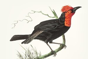 Illustration of black tanager