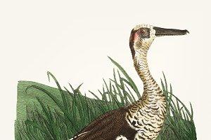 Illustration of fasciated duck