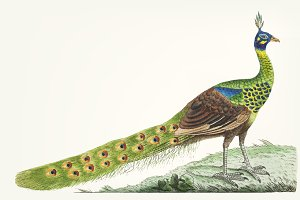 Illustration of peacock