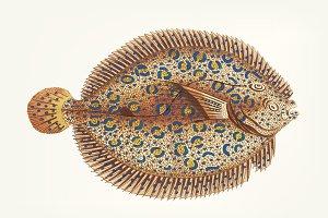 Hand drawn Argus Flounder