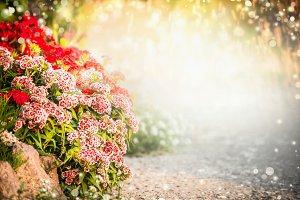 Turkish carnation flowers in garden